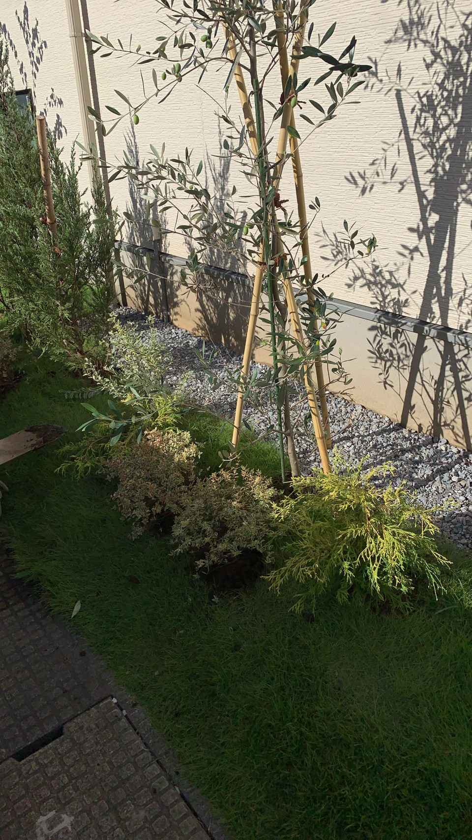 ホンコンエンシス・オリーブの植栽後